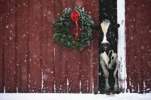 Holstein Cow Standing in Doorway of Red Barn, Christmas Wreath on Barn, Marengo by Lynn M^ Stone
