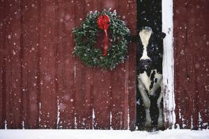 Holstein Cow Standing in Doorway of Red Barn, Christmas Wreath on Barn, Marengo by Lynn M. Stone