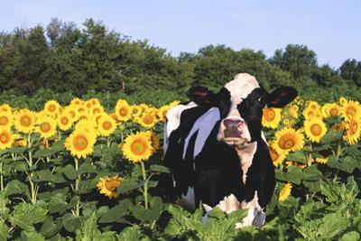 Holstein Cow Standing in Sunflowers, Pecatonica, Illinois, USA by Lynn M. Stone