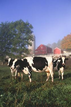 Holstein Cows in Green Pasture on Clear October Morning with Dairy Buildings in Distance, Granville by Lynn M. Stone