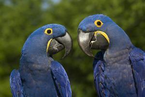 Hyacinth Macaw (Amnolorhynchus Hyacinthinus) by Lynn M^ Stone