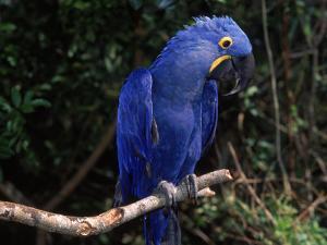 Hyacinth Macaw (Anodorhynchus Hyacinthinus) by Lynn M. Stone