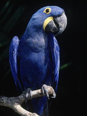 Hyacinth Macaw (Anodorhynchus Hyacinthus) by Lynn M. Stone