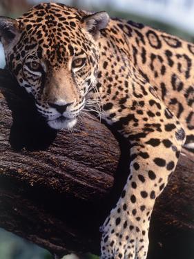 Jaguar Lying on a Tree Limb, Belize by Lynn M. Stone