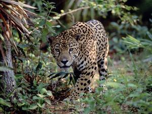Jaguar Walking Through the Forest, Belize by Lynn M. Stone