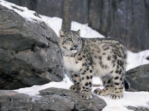 Juvenile Snow Leopard by Lynn M. Stone