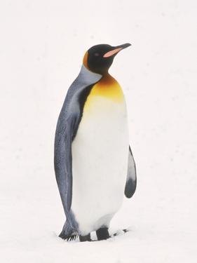 King Penguin, South Georgia Island by Lynn M. Stone