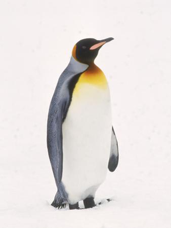 King Penguin, South Georgia Island by Lynn M. Stone