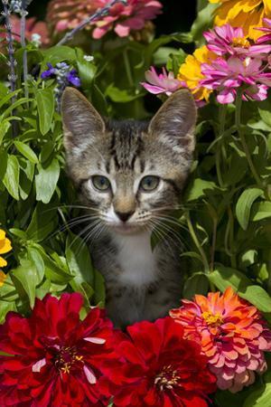 Kitten in Flowers, Sarasota, Florida, USA by Lynn M. Stone