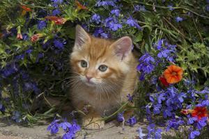 Kitten on Garden Wall with Flowers, Wheaton, Illinois, USA by Lynn M. Stone
