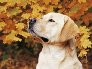 Labrador Retriever, Illinois, USA by Lynn M. Stone