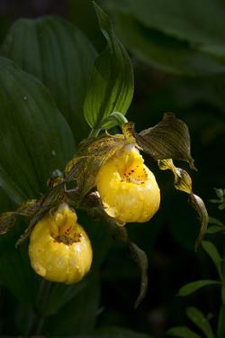 Large Yellow Lady'S-Slipper (Cypripedium Parviflorum) by Lynn M. Stone