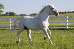 Lipizzan Stallion Cavorting in Paddock, Tempel Farms, Old Mill Creek, Illinois, USA by Lynn M. Stone
