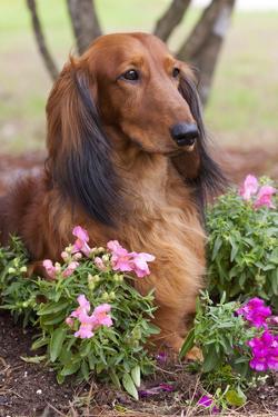 Long-Haired Standard Dachshund in Ornamental Flowers, Florida, USA by Lynn M. Stone