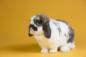 Lop Rabbit by Lynn M. Stone
