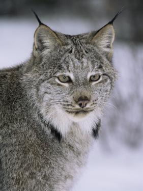Lynx Portrait, USA by Lynn M^ Stone