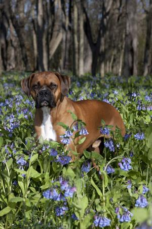 Male Boxer (Natural Ears) Standing in Virginia Bluebells, Rockton, Illinois, USA by Lynn M. Stone
