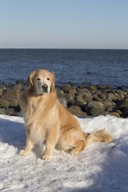 Male Golden Retriever Sitting on Snow at Rock Long Island Sound Beach, Madison by Lynn M. Stone