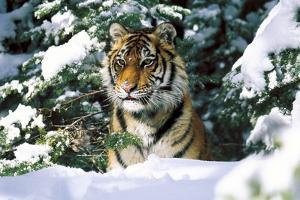 Male Tiger Peering Through Snow-Covered Spruce Trees (Captive Animal) by Lynn M. Stone