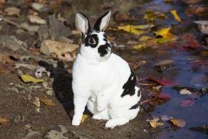 Mini Rex Rabbit, E. Haddam, Connecticut, USA by Lynn M. Stone
