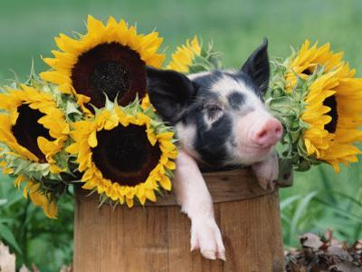 Mixed-Breed Piglet in Basket with Sunflowers, USA