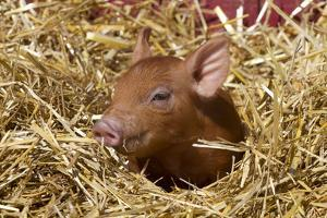 Mixed-Breed Piglet in Straw, Maple Park, Illinois, USA by Lynn M. Stone