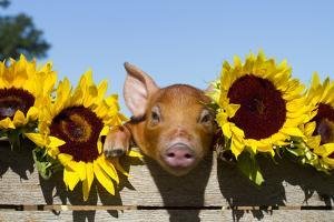 Mixed-Breed Piglet in Wooden Box with Sunflowers, Maple Park, Illinois, USA by Lynn M. Stone