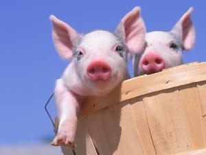 Mixed-Breed Pigs by Lynn M. Stone