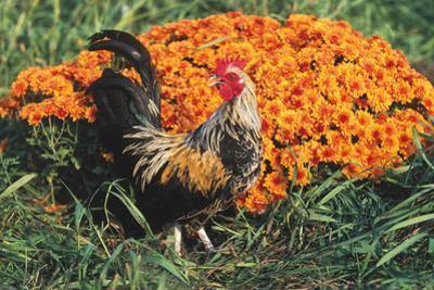 Mixed Breed Rooster