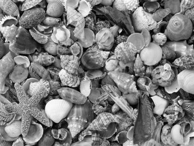 Mixed Sea Shells on Beach, Sarasata, Florida, USA