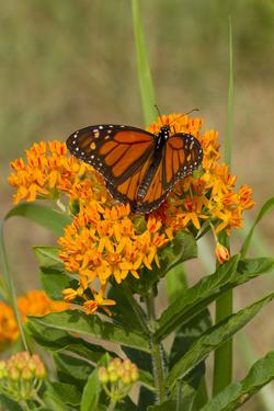 Monarch Butterfly (Danaus Plexippus) Nectaring on Butterfly Weed (Asclepias Tuberosa), Old Saybrook by Lynn M. Stone