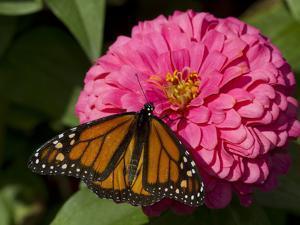 Monarch Butterfly on Zinnia by Lynn M. Stone