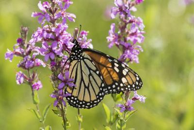 Monarch Butterfly by Lynn M. Stone