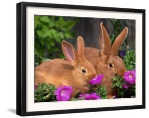 Mother and Baby New Zealand Rabbit Amongst Petunias, USA by Lynn M. Stone