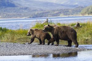 Mother Grizzly and Her Two-Year Old Hustle onto a Gravel Bar in an Olga Bay Stream, Kodiak I. by Lynn M^ Stone