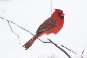 Northern Cardinal (Cardinals Cardinalis) by Lynn M. Stone