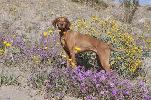 Older Vizsla Standing Amid Purple Desert Verbena and Yellow Composites by Lynn M. Stone
