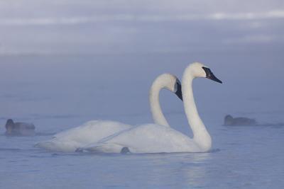 Pair of Trumpeter Swans (Cygnus Buccinator) Swimming in Ice Fog