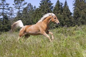 Palomino Quarter Horse Running Through Meadow at Forest Edge, Fort Bragg, California, USA by Lynn M. Stone