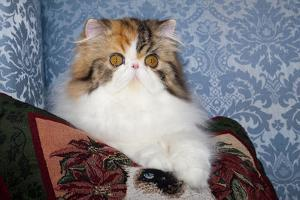 Persian Cat, Tricolor, on Couch -Cat- Pillow, Naperville, Illinois by Lynn M. Stone