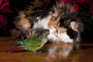 Persian Cat Watching Conure on Table, Poinsettias in Background, Carpentersville, Illinois, USA by Lynn M. Stone