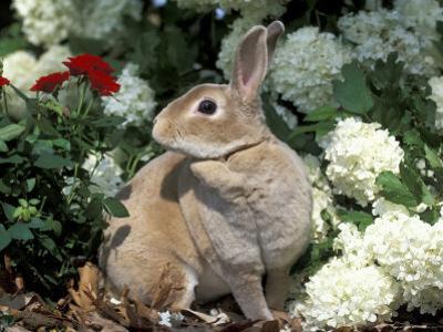 Pet Domestic Mini Rex Rabbit Amongst Hydrangea Flowers by Lynn M. Stone