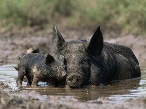 Pig and Piglet in Mud Puddle by Lynn M. Stone