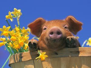 Pig with Daffodils in Bushel by Lynn M. Stone