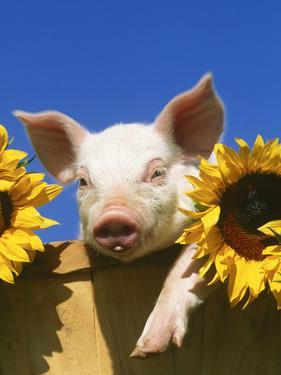 Pig with Sunflowers in Bushel by Lynn M. Stone