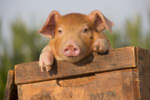 Piglet in Antique Wooden Egg Box, Findlay, Ohio, USA by Lynn M. Stone