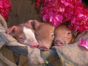 Piglets in Barrel with Flower by Lynn M. Stone