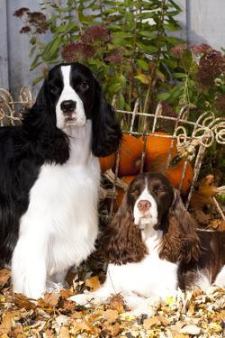 Portrait of a Pair of Show-Type English Springer Spaniels by Lynn M. Stone