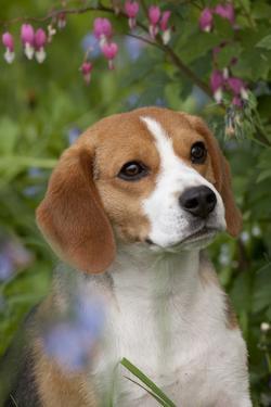 Portrait of Beagle Hound in Dandelions by Lynn M. Stone
