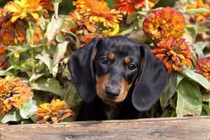 Portrait of Black Mini Dachshund Pup in Antique Wooden Box by Zinnias, Gurnee, Illinois, USA by Lynn M^ Stone